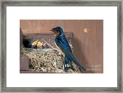 Barn Swallow At Nest Framed Print by Anthony Mercieca