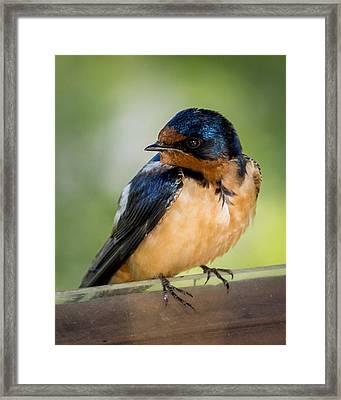 Barn Swallow Framed Print by Ernie Echols
