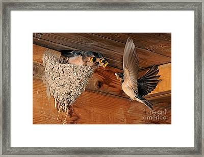 Barn Swallow Nest Framed Print by Scott Linstead