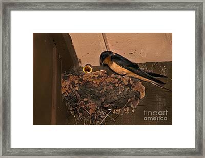 Barn Swallow Framed Print by Ron Sanford