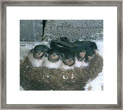 Barn Swallows Framed Print by Hans Reinhard