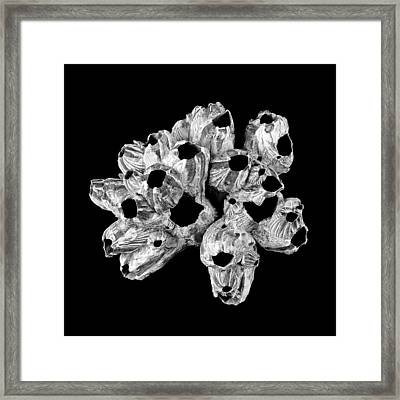 Barnacle Shell Framed Print by Jim Hughes