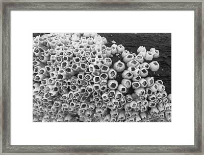 Barnacles Framed Print by Karen Rhodes