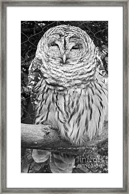 Barred Owl In Black And White Framed Print by John Telfer