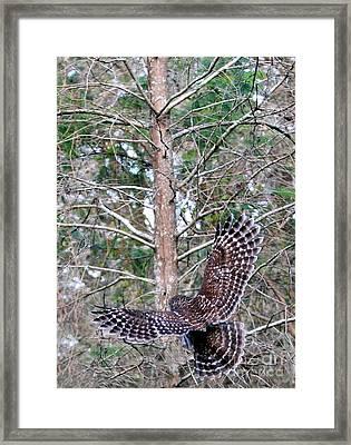 Barred Owl In Flight 2 Framed Print by Randy Matthews
