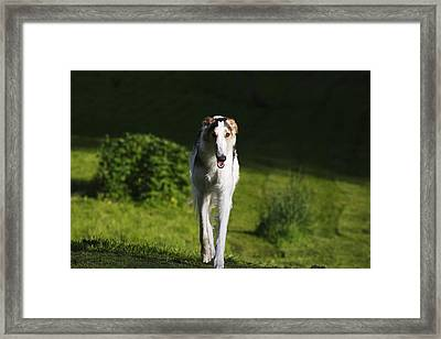 Barzoi Hound Running In A Woolf Like Posture Framed Print by Christian Lagereek
