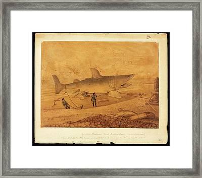 Basking Shark Illustration Framed Print by Natural History Museum, London
