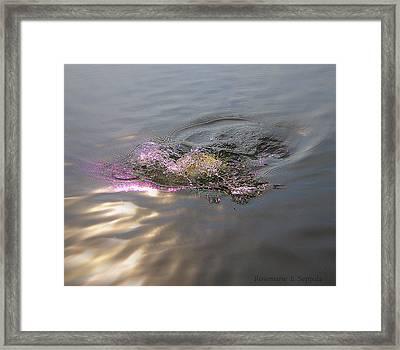 Sport Fishing The Boil And Swriling Large Mouth Bass I I I Framed Print by Rosemarie E Seppala