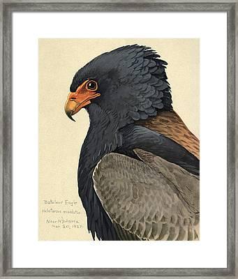 Bateleur Eagle Framed Print by Louis Agassiz Fuertes