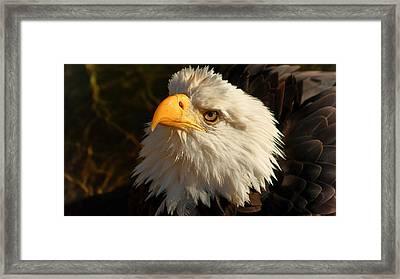 Bathin Eagle Framed Print by D C