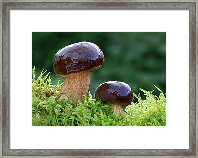 Bay Bolete Framed Print by Nigel Downer