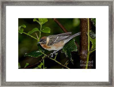 Bay-breasted Warbler Framed Print by Anthony Mercieca