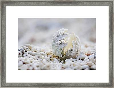 Beach Clam Framed Print by Sean Davey