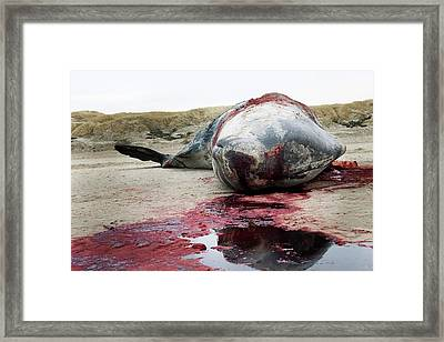 Beached Sperm Whale Body Framed Print by Thomas Fredberg
