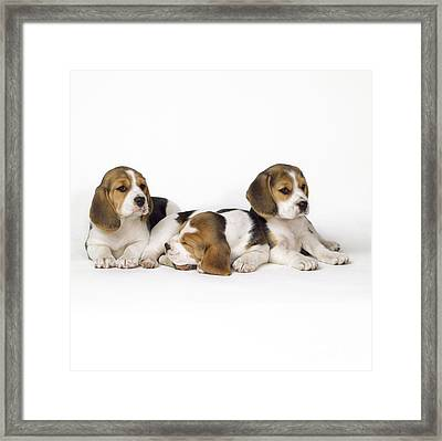 Beagle Puppies, Row Of Three, Second Framed Print by John Daniels