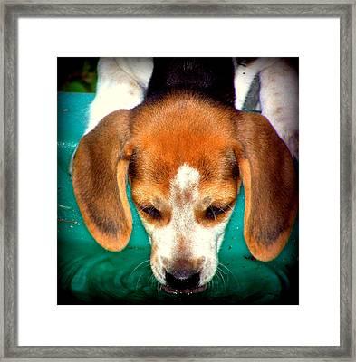 Beagle Puppy 3 Framed Print by Lynn Griffin