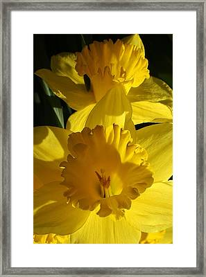 Beamming Daffodils Framed Print by Bruce Bley