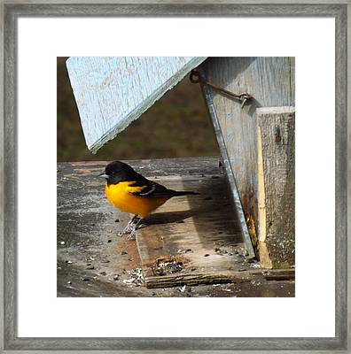 Beautiful Baltimore Oriole Framed Print by Brenda Brown