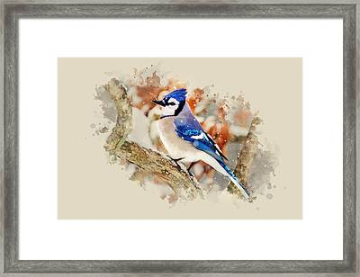 Beautiful Blue Jay - Watercolor Art Framed Print by Christina Rollo