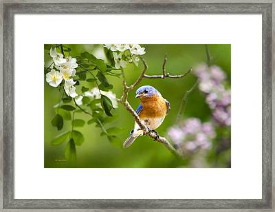 Beautiful Bluebird Framed Print by Christina Rollo