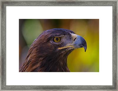 Beautiful Golden Eagle Framed Print by Garry Gay