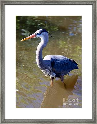 Beautiful Great Blue Heron In Swamp Framed Print by Carol Groenen