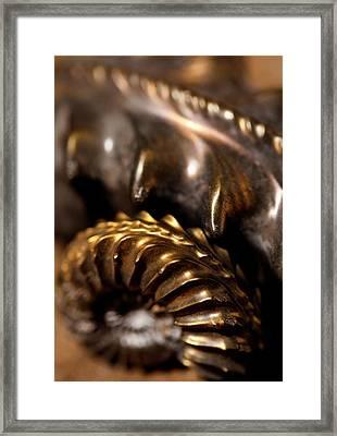 Beautiful Jurassic Pyrites Gold Ammonites Framed Print by Paul D Stewart