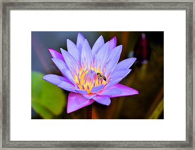 Beautiful Lily And Visiting Bee Framed Print by Kristina Deane
