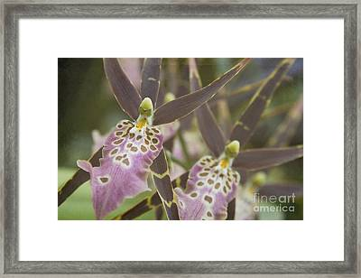 Beautiful Mtssa. Shelob 'tolkien' - Orchids - Mericlone  Framed Print by Sharon Mau
