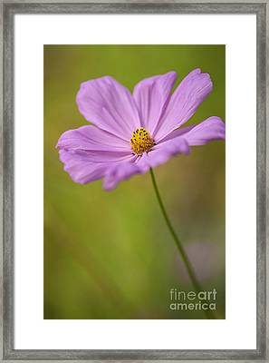 Beautiful Pink Cosmos Flower Framed Print by Vishwanath Bhat