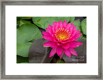 Beautiful Pink Waterlily Framed Print by Tosporn Preede
