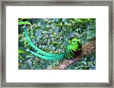 Beautiful Quetzal 3 Framed Print by Heiko Koehrer-Wagner