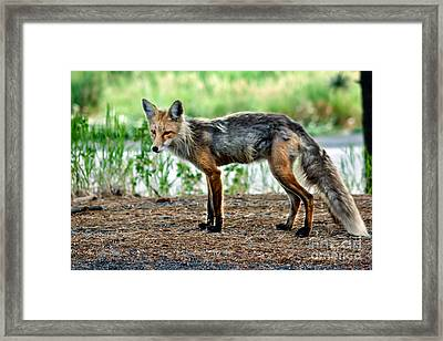 Beautiful Red Fox Framed Print by Robert Bales