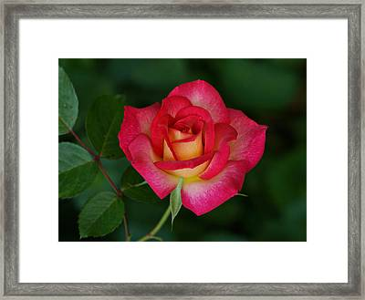 Beautiful Rose Framed Print by Sandy Keeton
