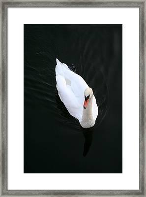 Beautiful Swan Framed Print by Allan Millora
