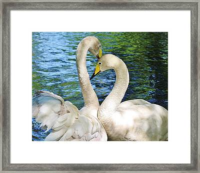 Beautiful Swans Framed Print by Paulette Thomas