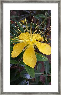 Beautiful Yellow Flower Framed Print by Cherie Sexsmith