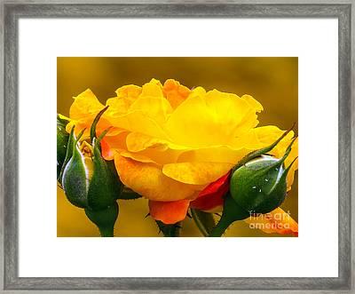 Beautiful Yellow Rose Framed Print by Zina Stromberg