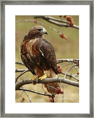 Beauty In Nature Red Tailed Hawk In The Spring  Framed Print by Inspired Nature Photography Fine Art Photography