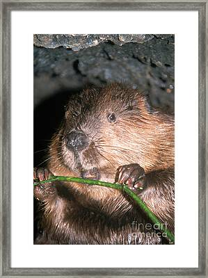 Beaver Castor Canadensis Framed Print by Mark Newman