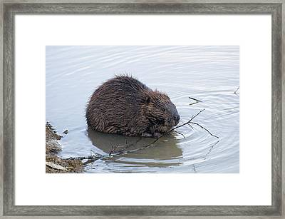 Beaver Chewing On Twig Framed Print by Chris Flees