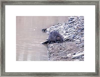 Beaver On Dry Land Framed Print by Chris Flees