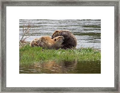 Beaver Pair Grooming One Another Framed Print by Ken Archer
