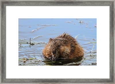Beaver Portrait Framed Print by Dan Sproul