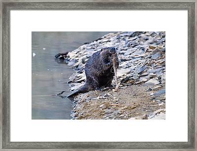 Beaver Sharpens Stick Framed Print by Chris Flees