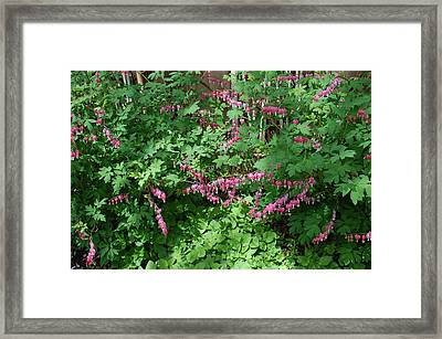 Bed Of Bleeding Hearts Framed Print by Aimee L Maher Photography and Art Visit ALMGallerydotcom