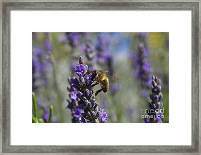 Bee And Lavender Framed Print by Tristyn Lau