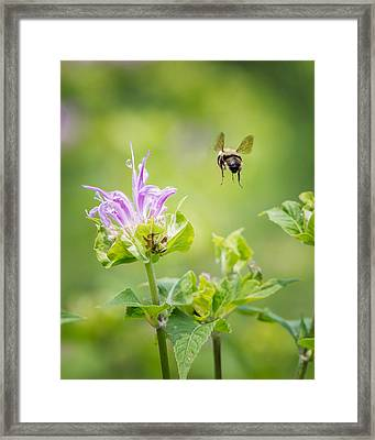 Bee Balm Bumble Bee Framed Print by Bill Wakeley
