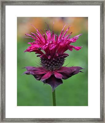 Bee Balm Framed Print by Lori Deiter