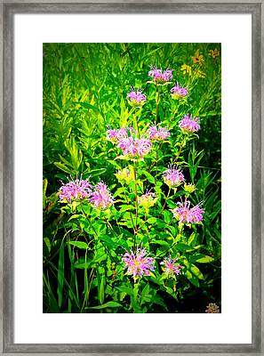 Bee Balm Of The Butterfly Gardens Of Wisconsin Framed Print by Carol Toepke